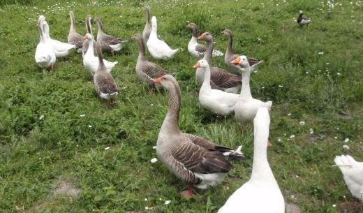 Noodkreet PvdD: 'Vergas ganzen niet' - AT5 Nieuws