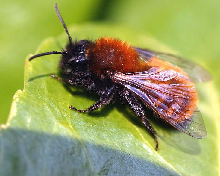 Tawny mining bee.  These beautiful little creatures are nesting in my lawn.
