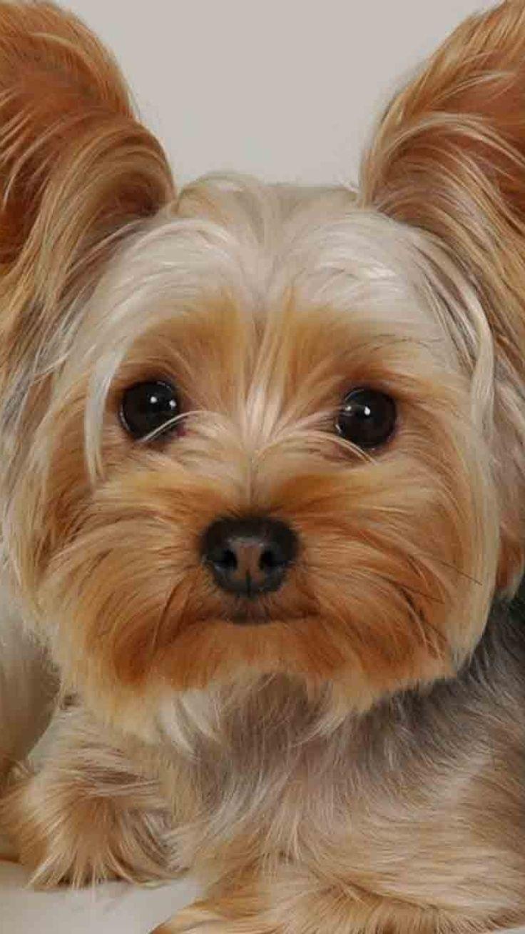 Yorkie Yorkshire Terrier Haircut