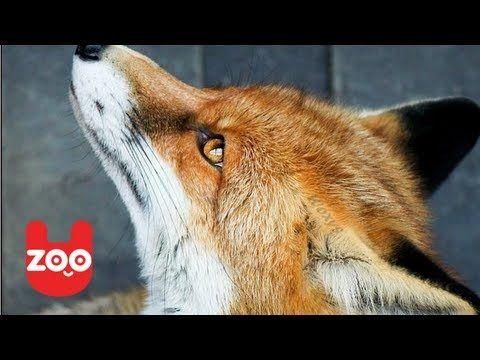 CROPPER, LA VOLPE DOMESTICA MySocialPET | Video