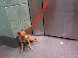 SUPER URGENT Brooklyn Center PEGASUS – A1097992  MALE, TAN, CHIHUAHUA SH MIX, 10 yrs STRAY – STRAY WAIT, NO HOLD Reason STRAY Intake condition EXAM REQ Intake Date 11/26/2016, From NY 11435, DueOut Date 11/29/2016,
