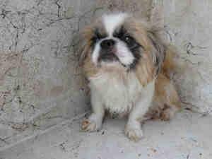 (R) is an adoptable Pekingese Dog in San Antonio, TX.  ...Worth Reading, Book Worth, Peking Dogs, San Antonio, Pekingese Dogs, Adoption Pekingese