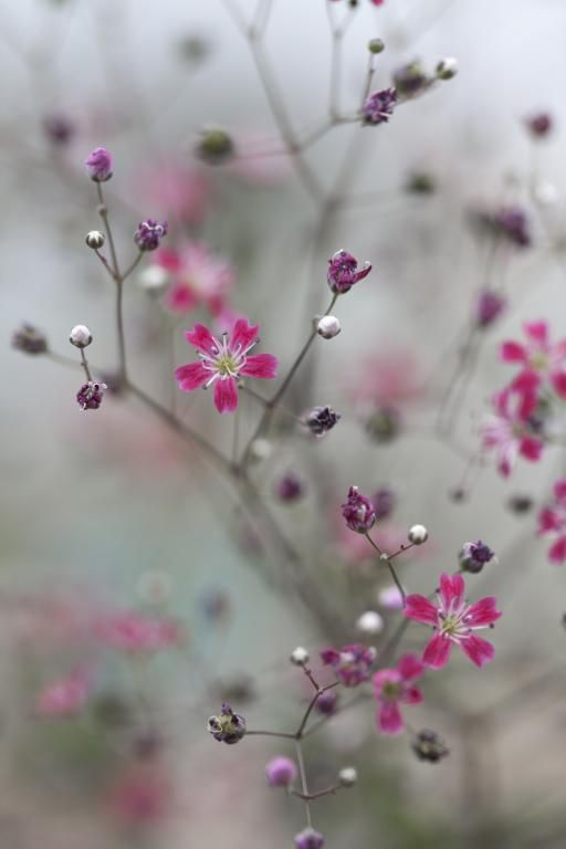 Gypsophila elegans 'Kermesina' Pink Baby's Breath So pretty!!!!