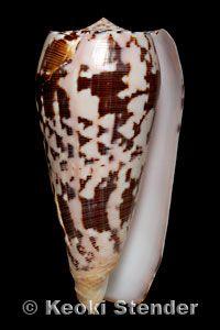 Conus (Pionoconus) striatus oahuensis