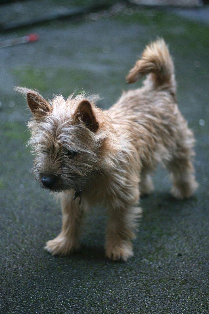 Hattie the Norwich Terrier, cute puppy