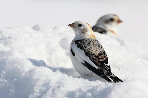 Bruants des  neige