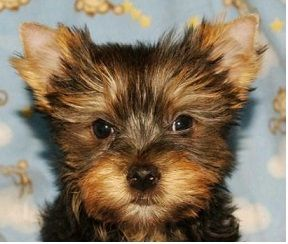 cheap yorkie puppies best 25 cheap puppies for sale ideas on pinterest cheap 4454