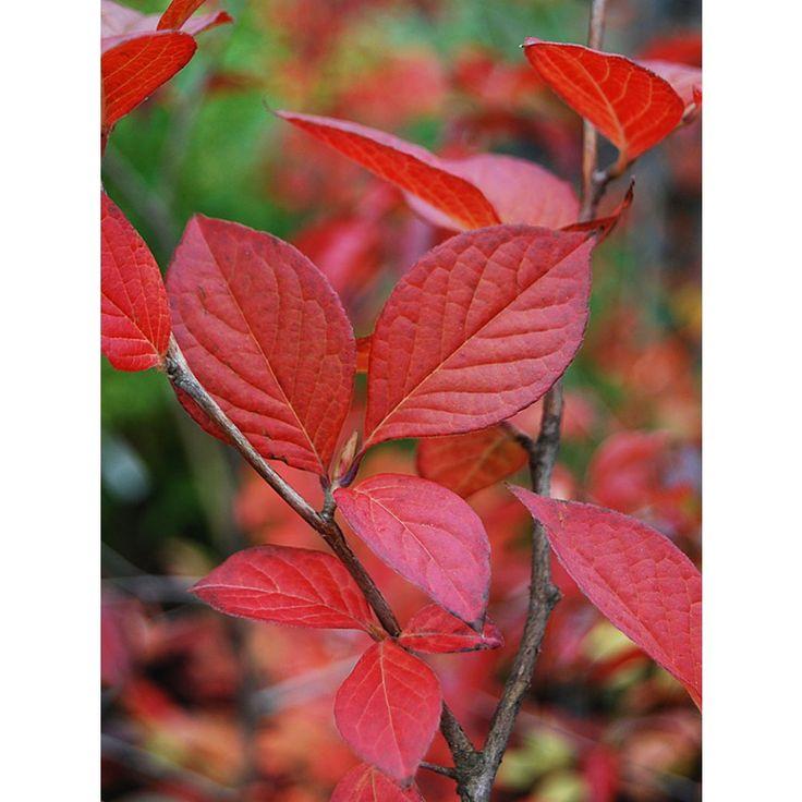 Ett mindre träd med högt attraktionsvärde. Mycket attraktiv fläckig, flagnande bark i olika grå, grågröna, bruna och rosa pusselliknande fläckar. Höstfärg med olikfärgade blad i gult och rött, ibland med purpurinslag. Kamelialiknande vita enkla blommor me