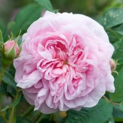 Queen of Denmark - An Alba rose, double/full bloom, medium pink with an old rose fragrance.