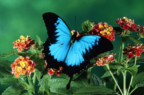 Ulysses Butterfly (Papilio ulysses) in the rainforest, Kuranda State Forest, Queensland, Australia