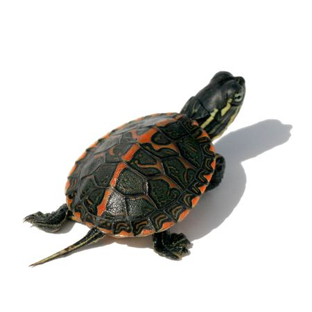 Baby Southern Painted Turtles for sale. We sell painted, maps, yellow bellies, red bellies, snappers and more all in our turtle super store. Visit us today.