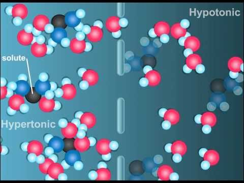 What is Plasmolysis HD Animation...explains hypo- hyper- and isotonic solutions, as well as osmosis and diffusion.