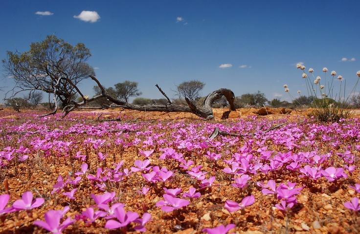 Outback wildflowers Western Australia