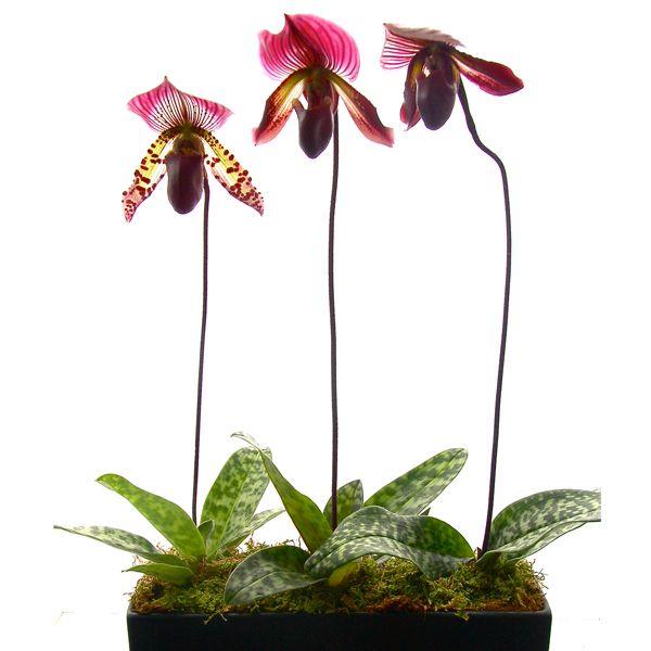 Orchid Paphionopedilum (Slipper)