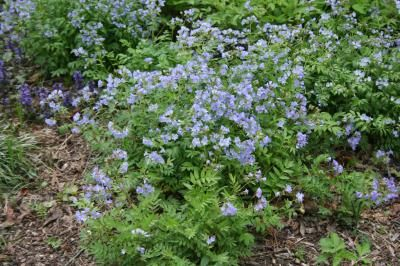 Image result for image of jacob's ladder flower
