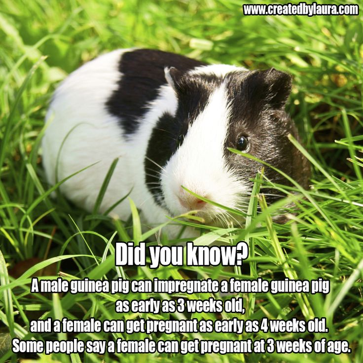 Pin On Guineapig Facts-6801