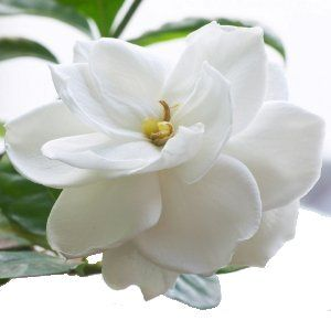 Fresh Gardenia Wedding Flower    Bulk Gardenia flowers have large beautiful blooms that are perfect for floating in a bowl with some candles. These very fragile flowers have no stems and must often be wired or glued. Included are the silk leaves upon which the flower sits. A very popular wedding flower, the white Gardenia would add an elegant touch to any table centerpiece, wedding bouquet, or flower arrangement