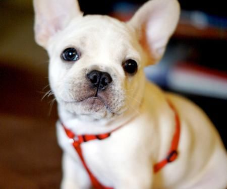 Snowball the French Bulldog.. I thought i would try