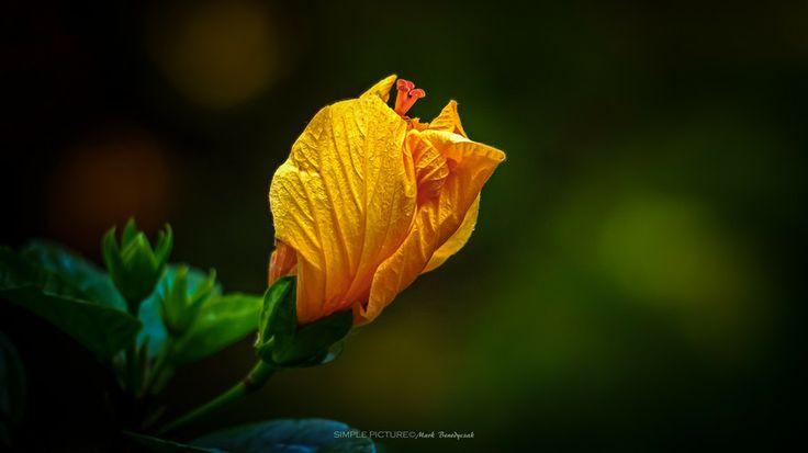 Hibiscus by Mark Benedyczak on 500px