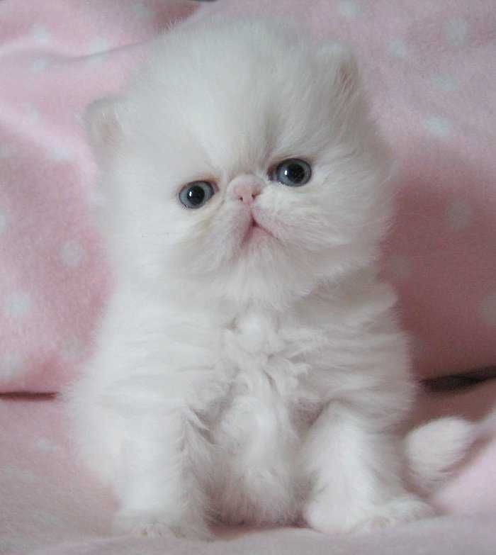 STUNNING WHITE Quality PERSIAN KITTEN