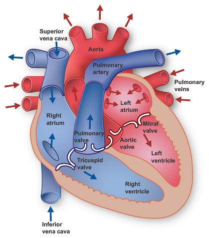 Internal anatomy diagram of the human heart by Texas Heart Institute.