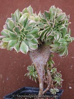 Rare variegated Aeonium 'Sunburst' Crested Form