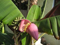 Yummy bananas - we cover how to grow bananas with our esoteric list of tips on growing banana trees in more climates than you might think.