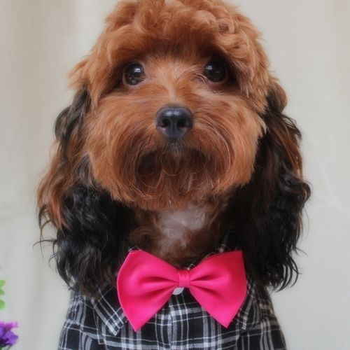 Little Pet Planet - Pet Dog Bow Tie, US$4.99 (http://www.littlepetplanet.com/accessories/ties/pet-dog-bow-tie/)