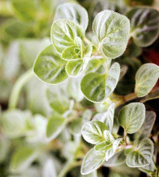 Marjoram - How to Grow and Use (Similar to oregano - Spicy/sweet herb, great with tomatoes)