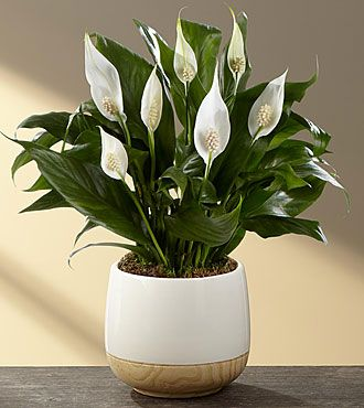 best 25 peace lily ideas on pinterest best indoor plants indoor house plants and air. Black Bedroom Furniture Sets. Home Design Ideas