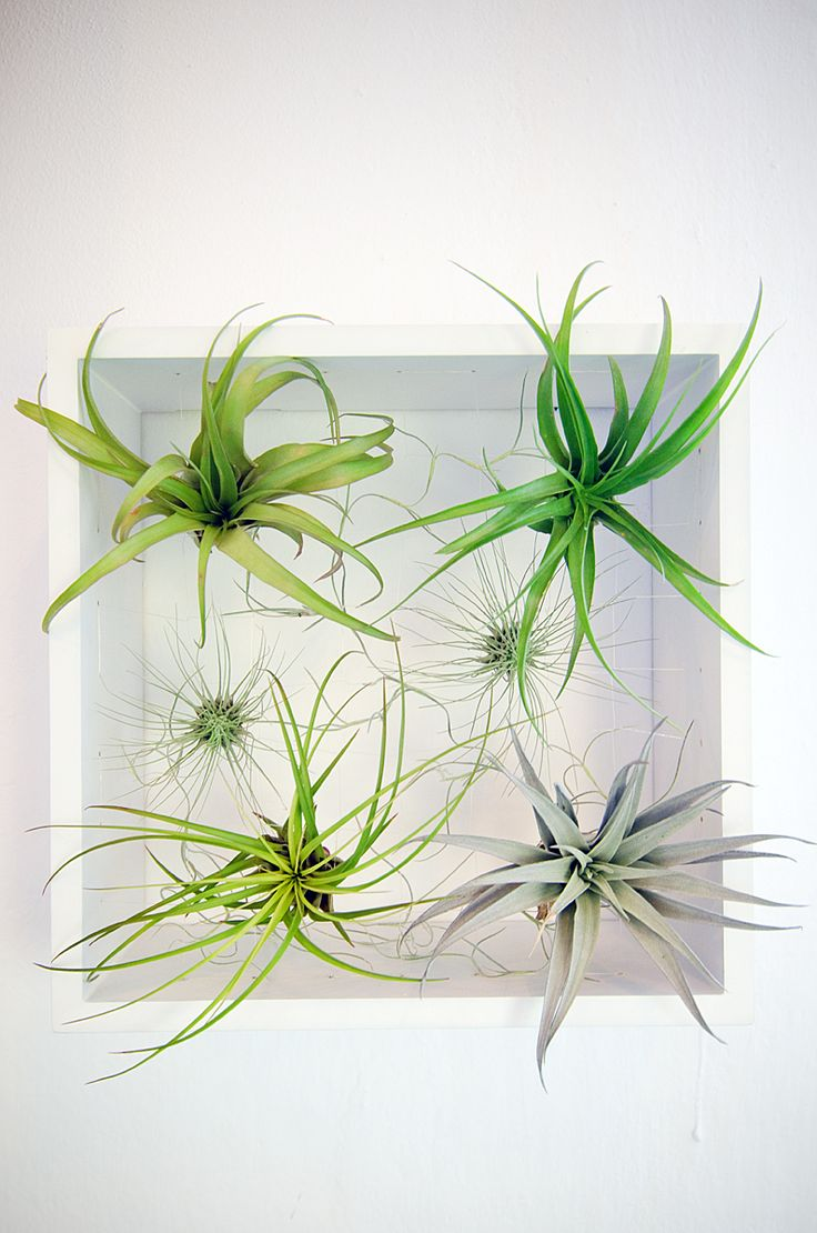Aerium Frame with airplants. https://www.etsy.com/shop/Aerium