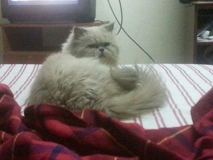 Milo mi gatito persa dollface himalayo point blue