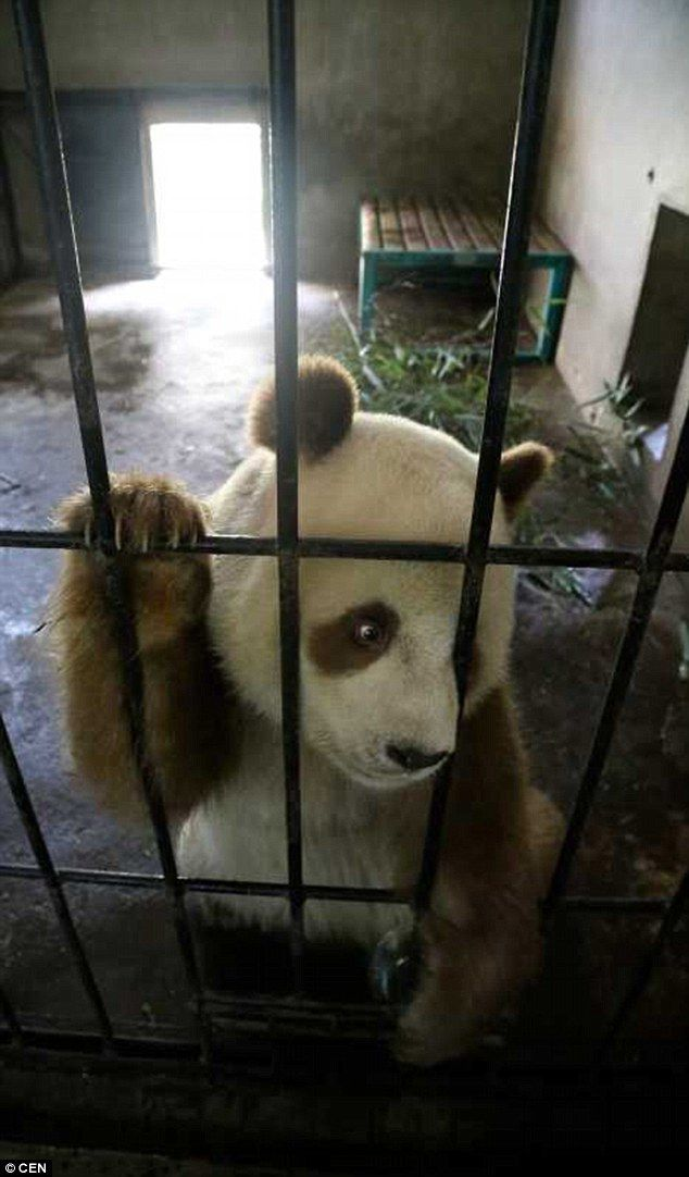 Brown Panda: Qizai lives at the Shaanxi Wild Animal Research Centre in western China