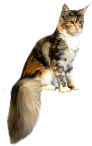 Maine Coon, black torti silver blotched & white (fs 09 22). Just Coon's Eh Manuelle