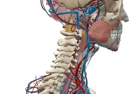 Nervo vago. Nausea, Tachicardia, Vertigini, tutta colpa del nervo vago infiammato