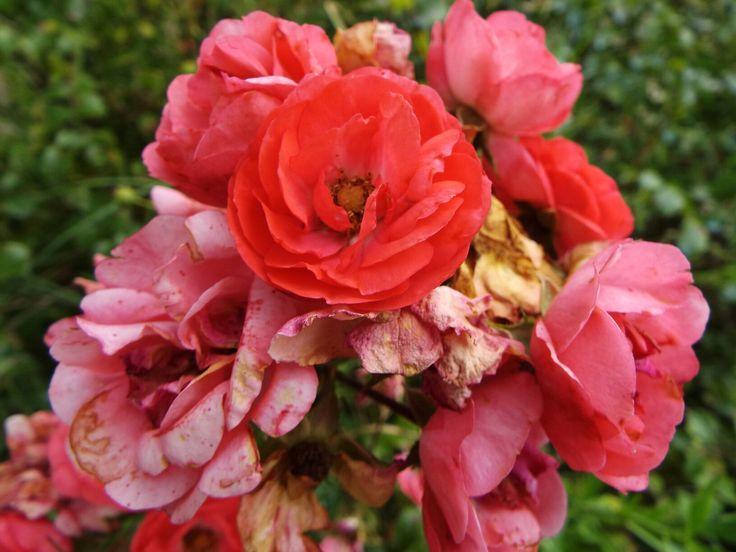 L'innocenza delle rose
