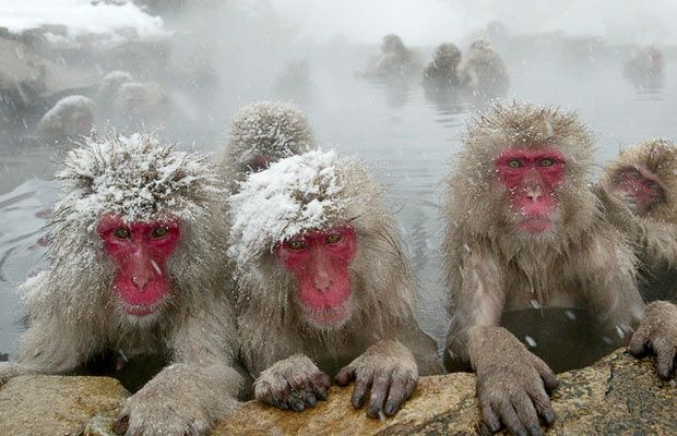 - * Japanese Macaque * - A terrestrial Old World monkey species native to Japan. It is also known sometimes as the snow monkey, because it lives in areas where snow covers the ground for months each year - no primate, with the exception of humans, is more northern-living, nor lives in a colder climate -