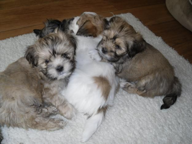 17 Best images about Lhasa apso puppies on Pinterest ...