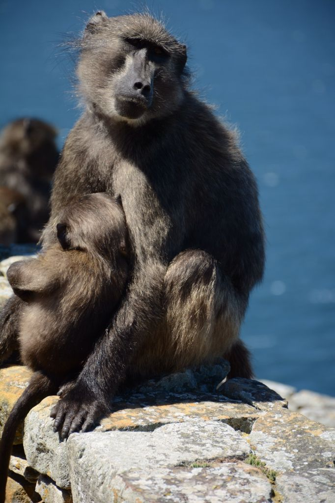 Baboons, Cape Point, South Africa