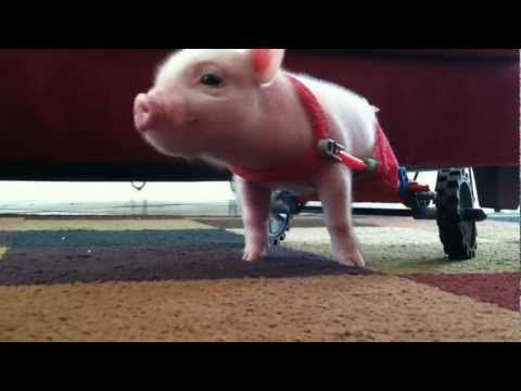Pig in Wheelchair - Chris P Bacon Teaching a 10 day old pig to use a wheel chair made of toy parts.