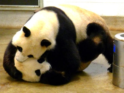 It's hard being a panda.