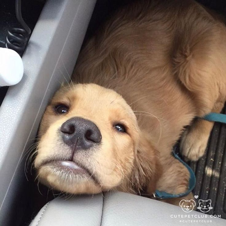 From @goldengirlwinnie: Fun adventure now take me home to nap #cutepetclub [source: http://ift.tt/2hP6uPR ]