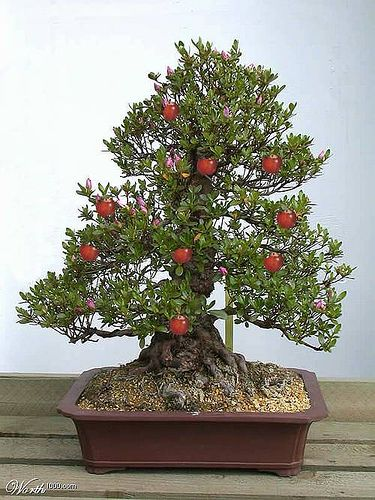 JPB:Fruit Bearing Bonsai...Crabapple by bobbybonsai, via Flickr