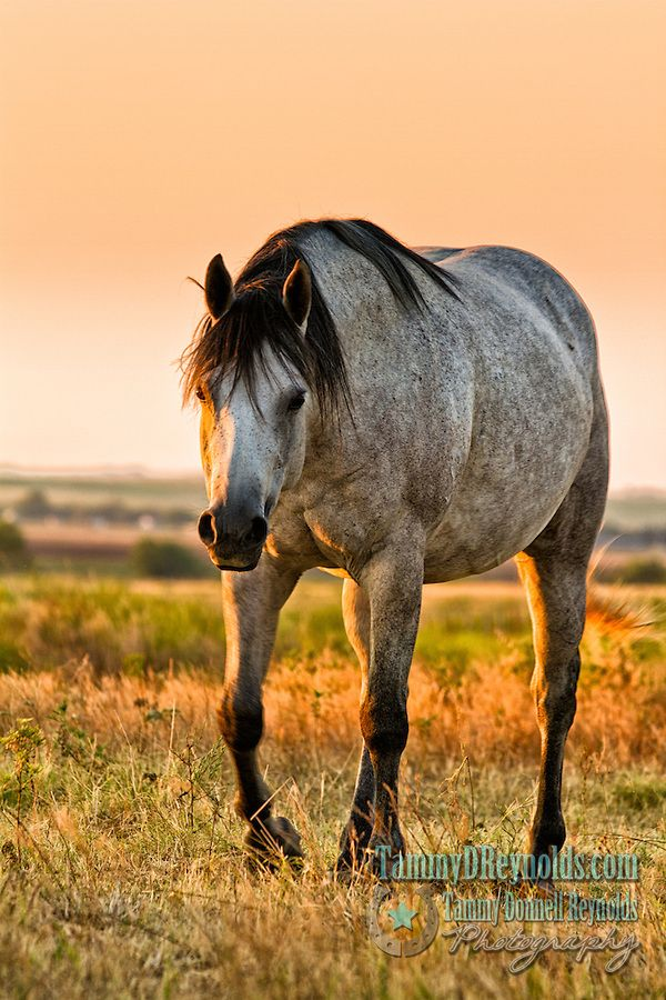 Grey horses with black mane and tail | ... horse horses cowboys cowgirls grey mare bay gelding ranching cattle