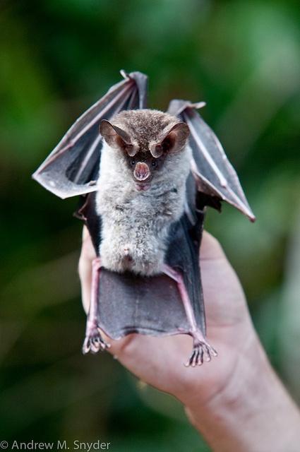 Big Eared Wooly Bat (Chrotopterus auritus) from Iwokrama, Guyana