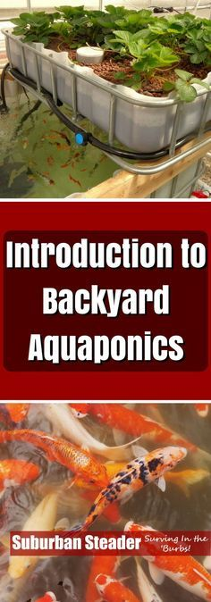 How do you raise vegetables and fish in one closed loop system? How about learning about and building a backyard aquaponics systems?
