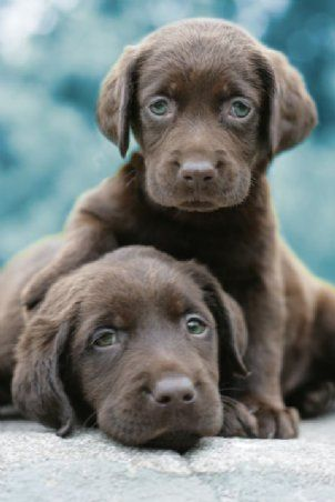 Lovable Chocolate Labs, I can remember when our sweet Roxy looked just like this