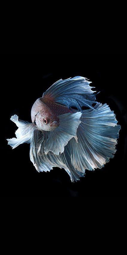 25 best ideas about betta fish on pinterest betta for Betta fish diseases