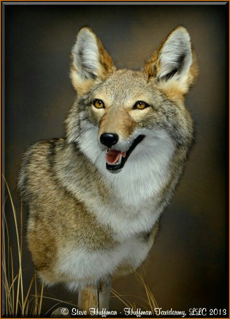 17 Best Images About Coyote Reference Pics On Pinterest