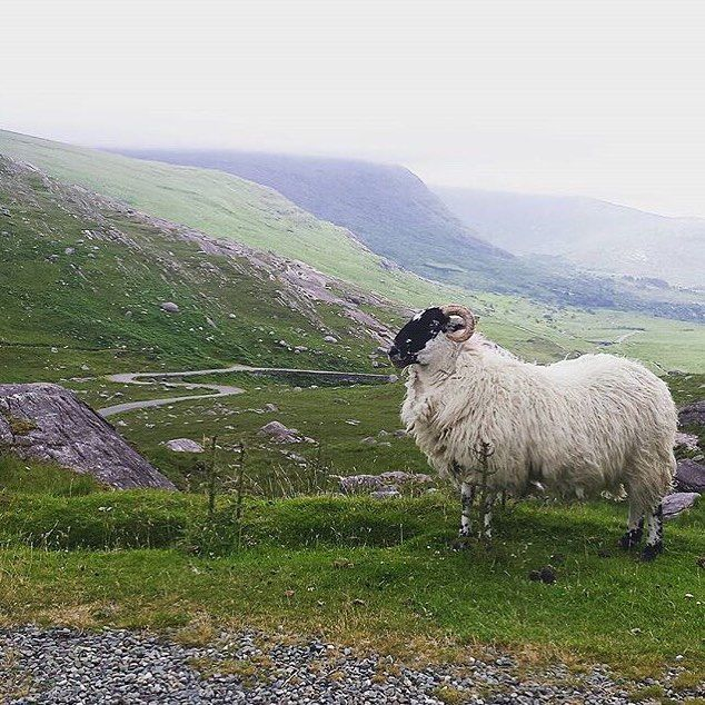 This picture of a ram enjoying the view from Healy Pass was taken by @padee85  Healy Pass crosses the Caha mountains from the Beara peninsula in Cork to Killarney in Kerry. It is 300m high giving spectacular views of both Cork and Kerry from the top.  The original pass was built in the 1840's by victims of the Great Famine. Many of the more isolated roads in Ireland were built then as the British government did not believe in giving direct relief to those starving to death insisting instead…